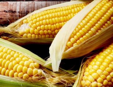 Ще один торговий партнер: Кенія купуватиме українську кукурудзу