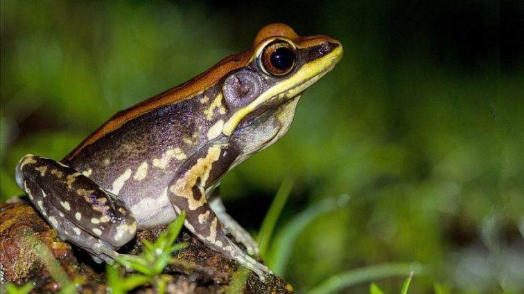 У жаб'ячому слизу знайшли ліки від смертельного віруса