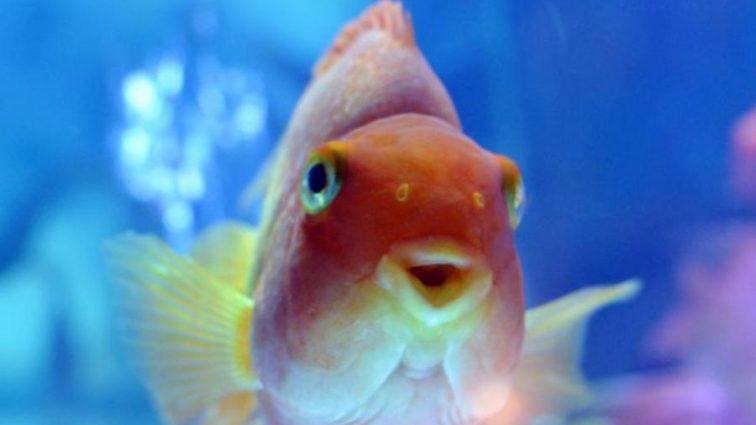 Несподівано: вчені розгадали таємницю золотих рибок