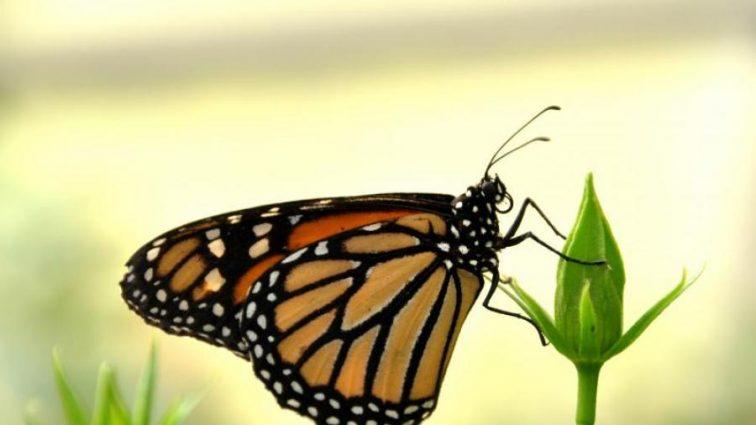 Різке вимирання метеликів спантеличило вчених